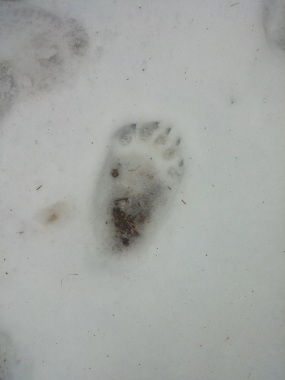 Bear tracks - claws and all!