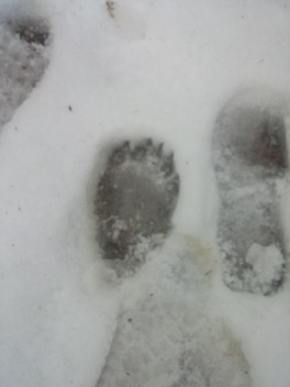 With a shoe print for comparison.